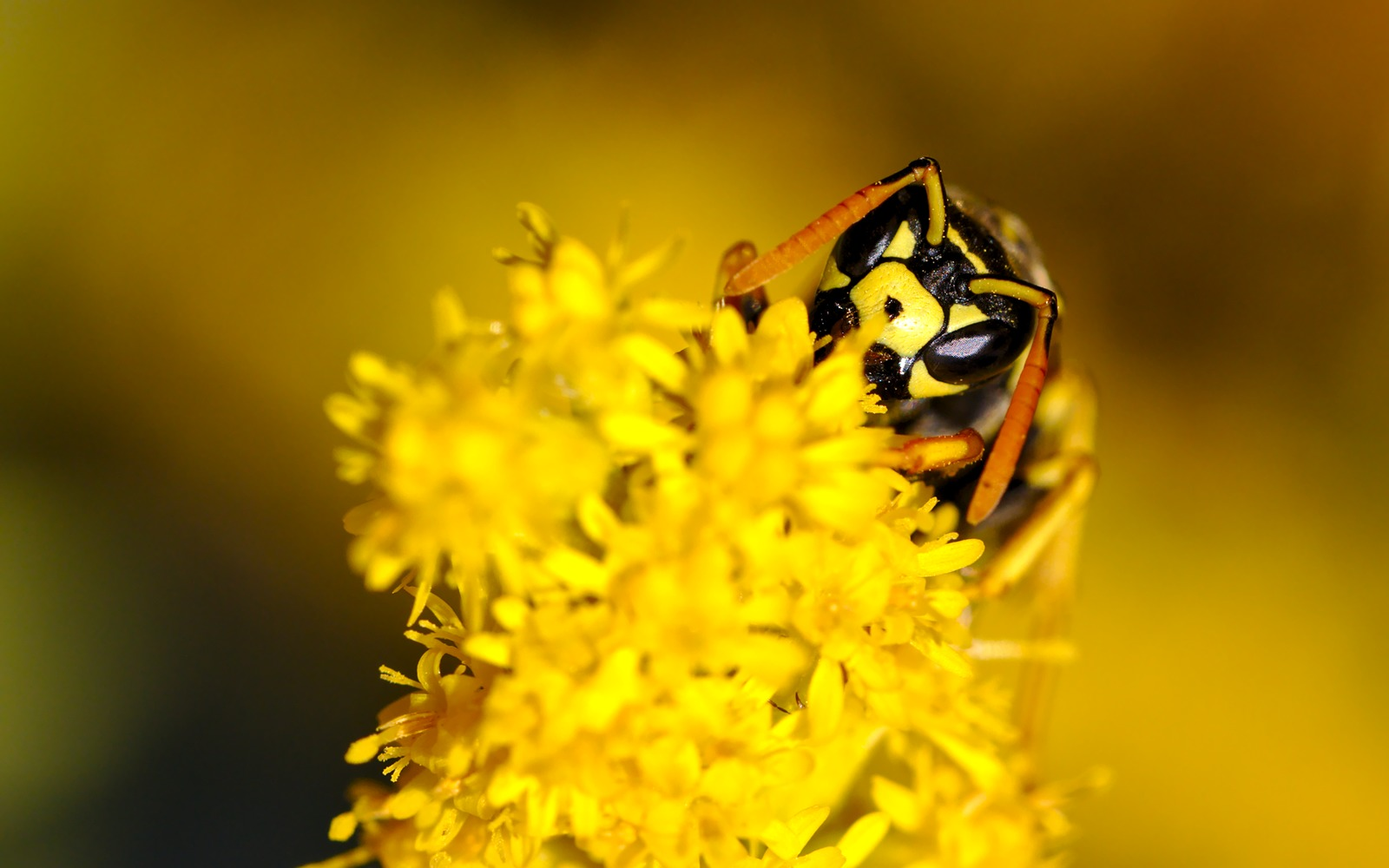 Yellow Jacket by Manuel Frei